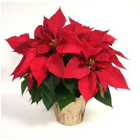 holiday myths poinsettiea.jpg